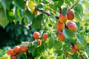 konténeres gyümölcsfa