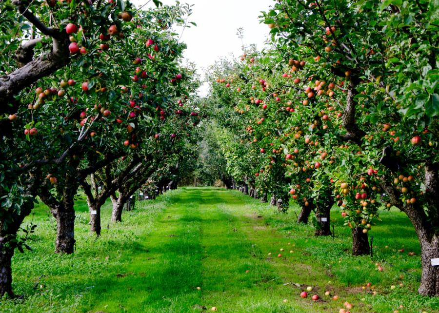 rezisztens almafajták